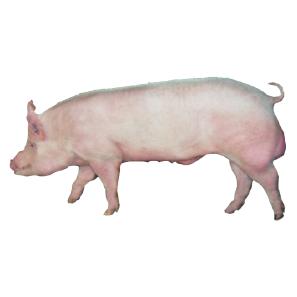 丹麦大白猪